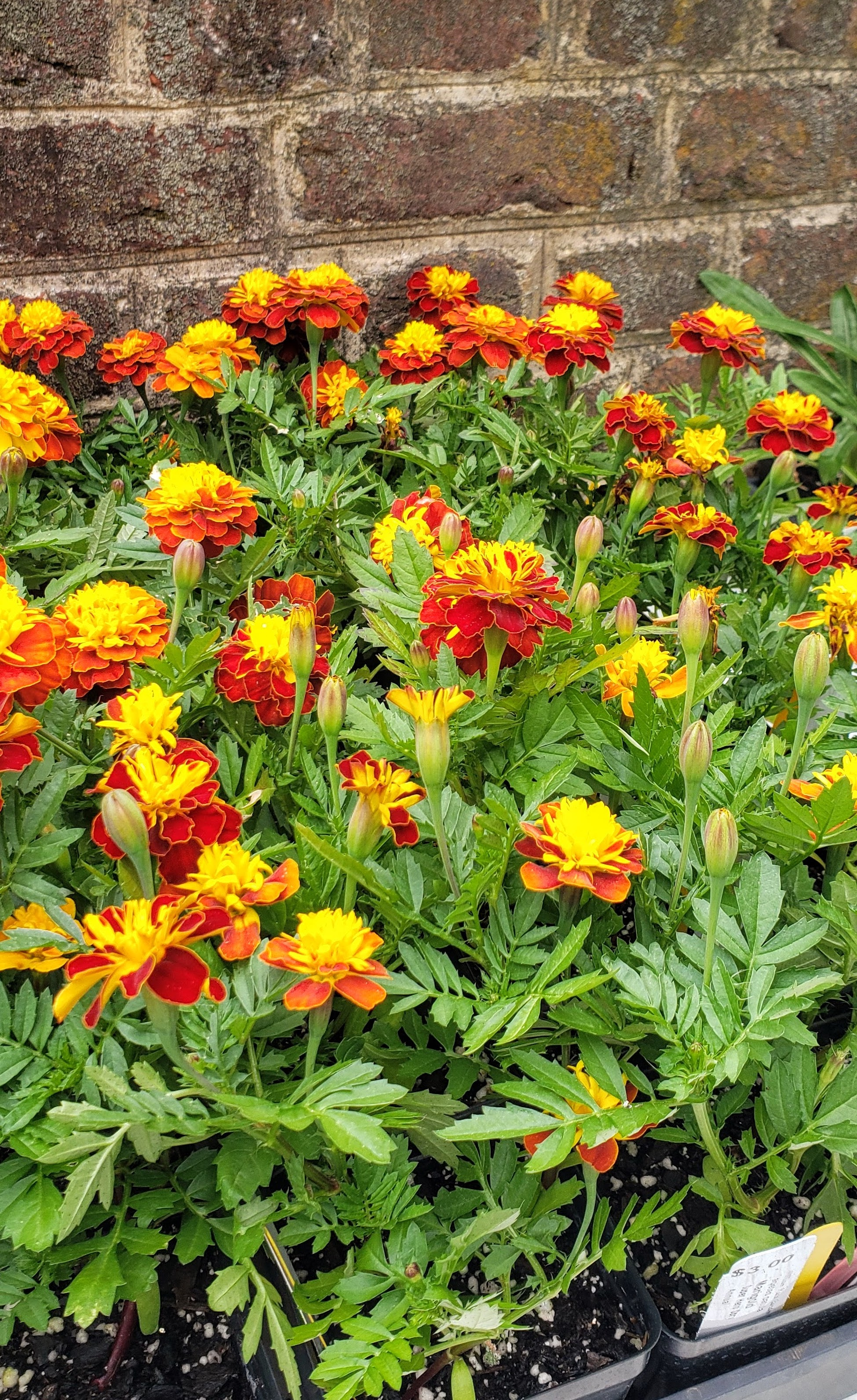 Marigolds-Plant-Sale